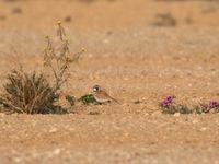 Les alouettes bilophes peuvent former de grands groupes en hiver dans les plaines de Uvda © Noé Terorde