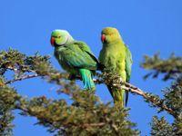 Un couple de perruches à collier en quête d'emplacement pour construire leur nid © Noé Terorde
