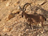 Les cornes des mâles de bouquetin de Nubie peuvent être très impressionnantes ! © Noé Terorde