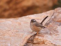 Le dromoïque vif-argent est aussi inféodé aux milieux rocheux et arides © Noé Terorde