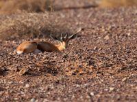 Les rare gazelles dorcas s'observent à plus basse altitude, dans les plaines désertiques © Noé Terorde