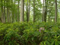 Rhododendron pontique © Johannes Jansen