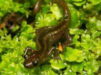 Salamandre du Caucase © Johannes Jansen