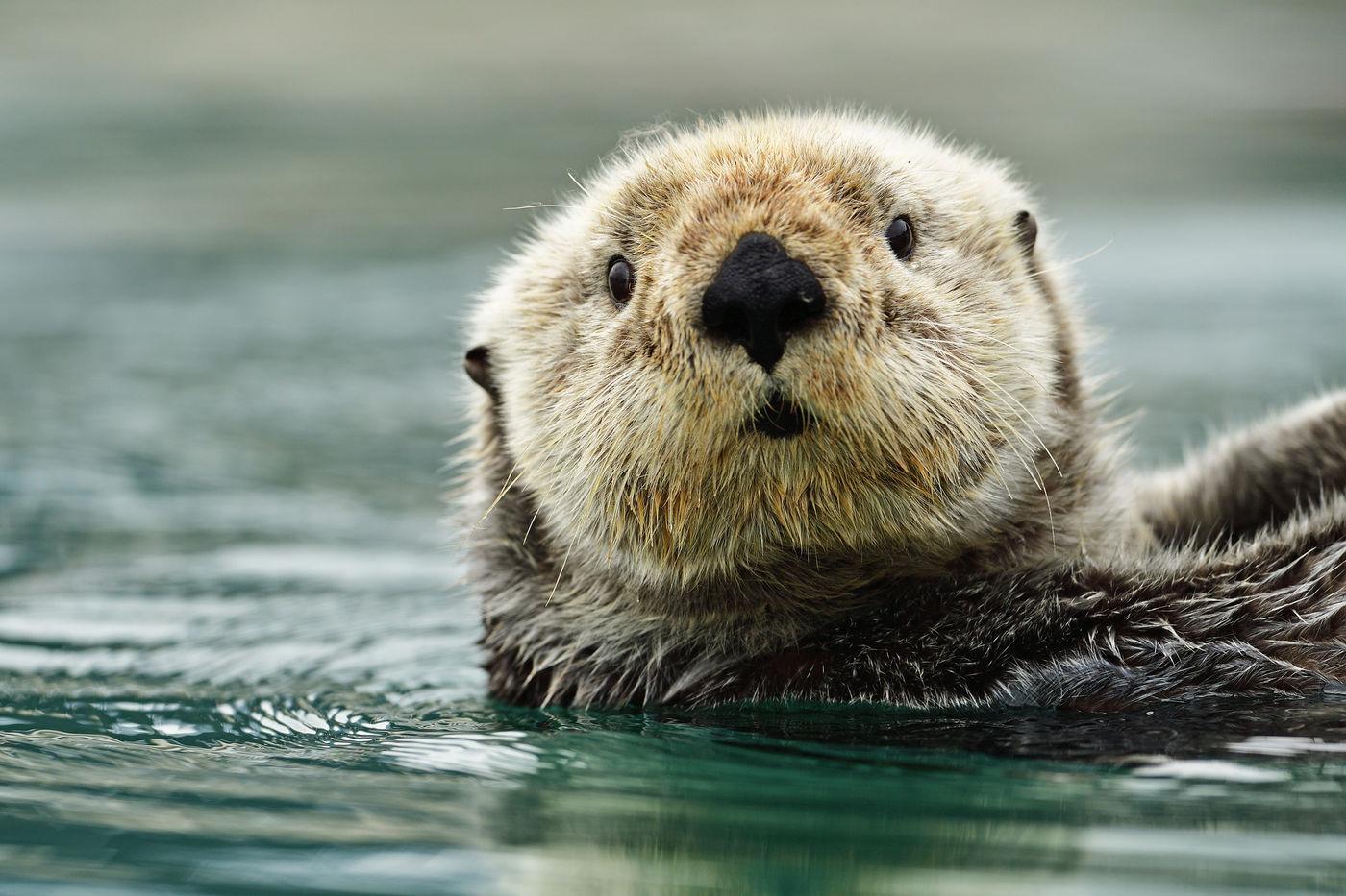 Een zeeotter kijkt ons verbaasd aan. © Yves Adams