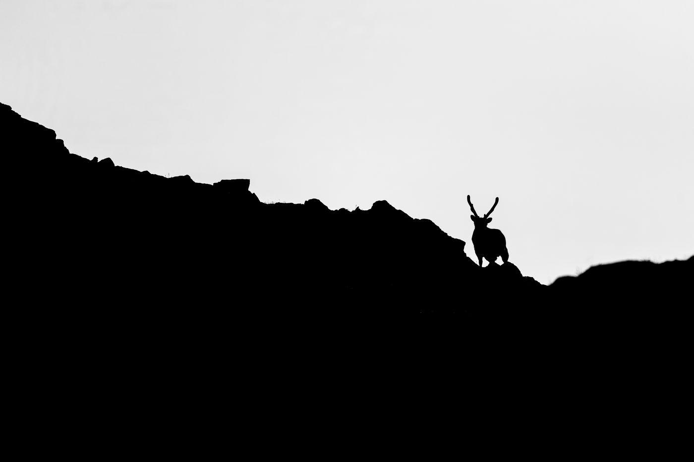 Een rendier tekent af tegen de witte achtergrond. © David 'Billy' Herman