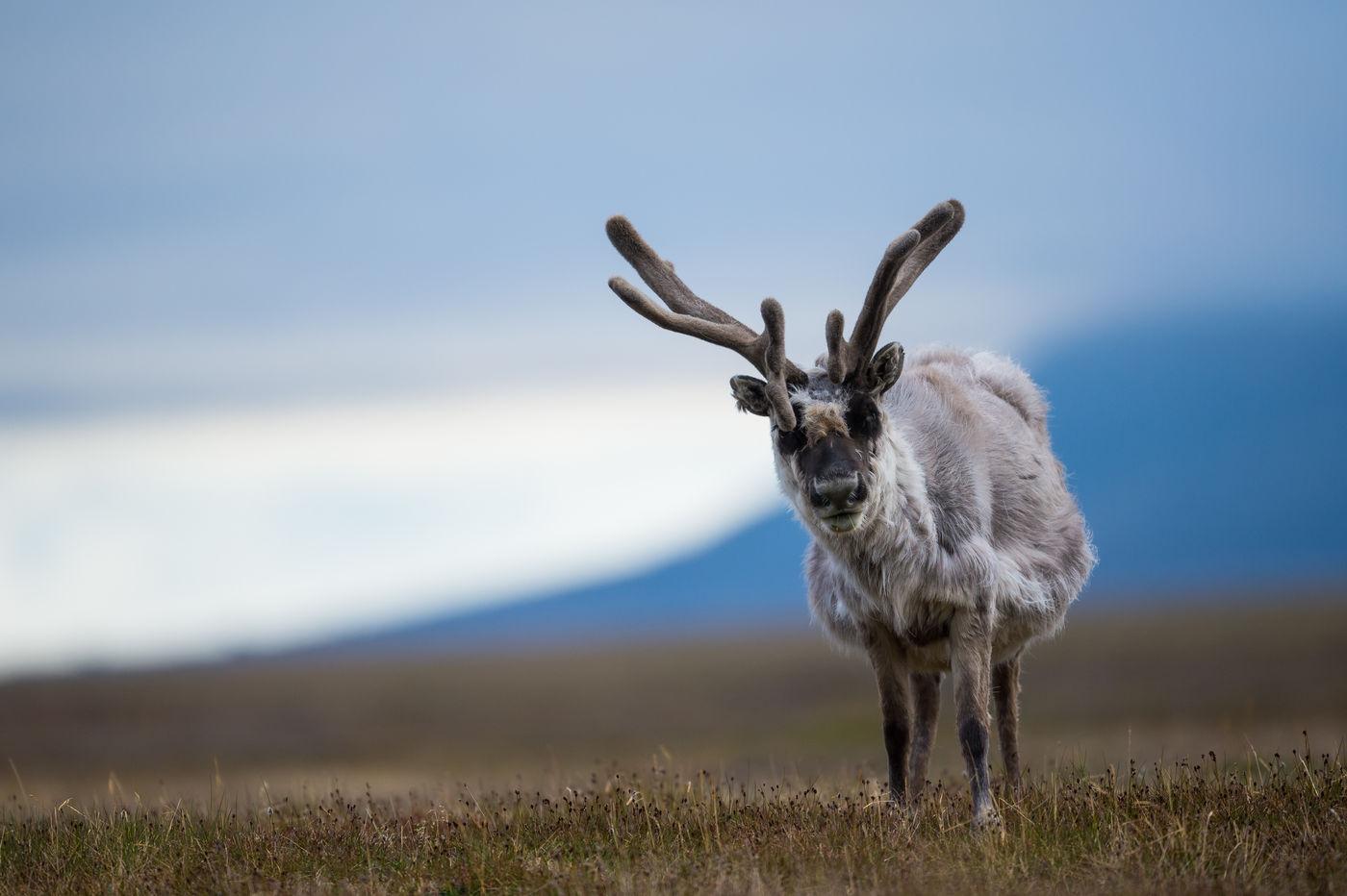 Rendieren zijn niet bijzonder schuw te noemen op de archipel. © David 'Billy' Herman