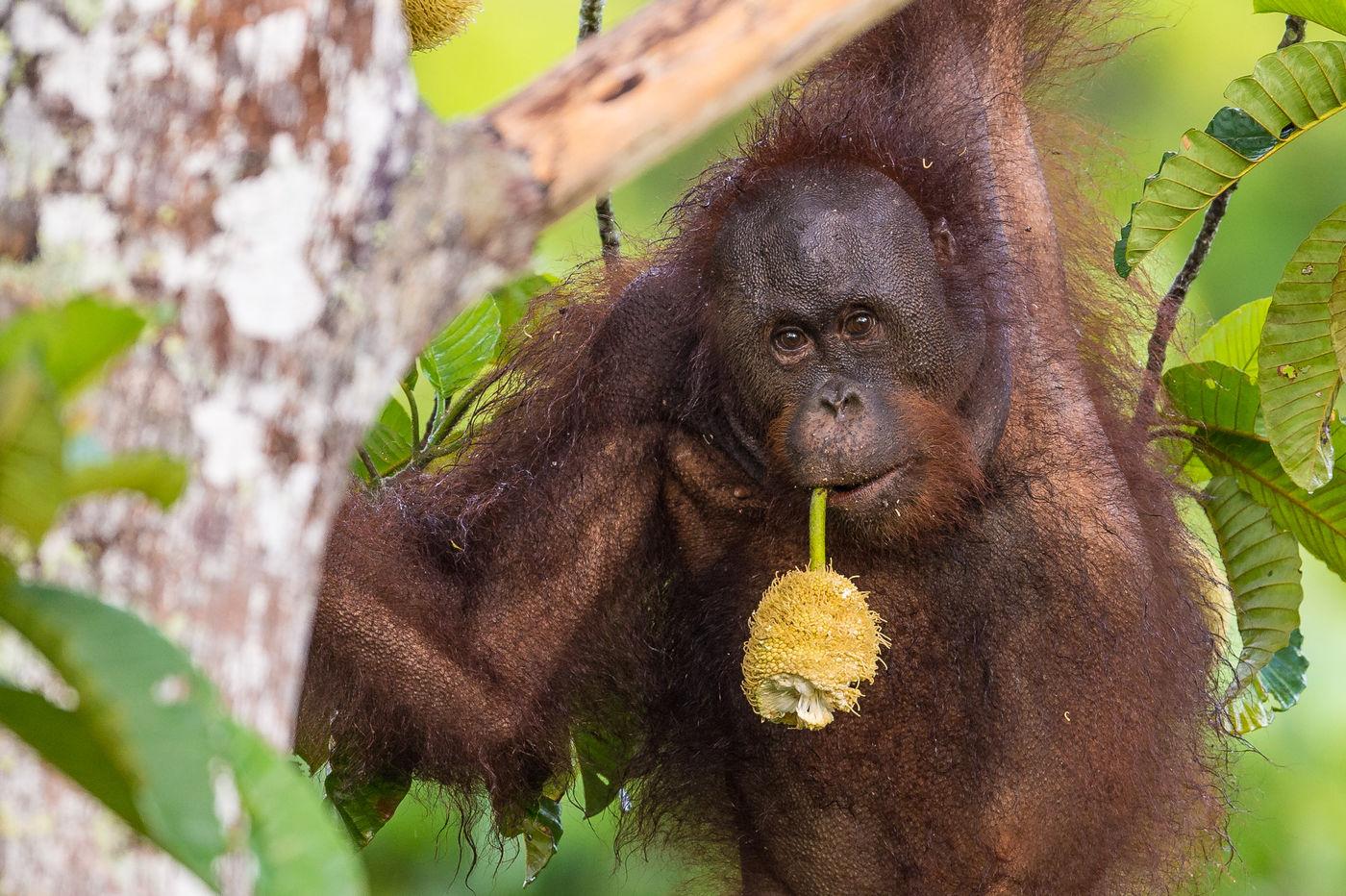 De vrucht van een broodboom volstaat voor deze orang-oetang en is geschikt als ontbijtje. © Billy Herman
