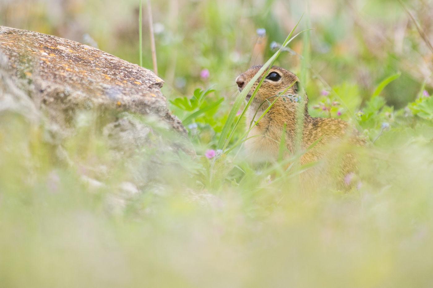 De siesel komt voor op de steppes van Oost-Europa, en is een fotogeniek beestje. © Billy Herman
