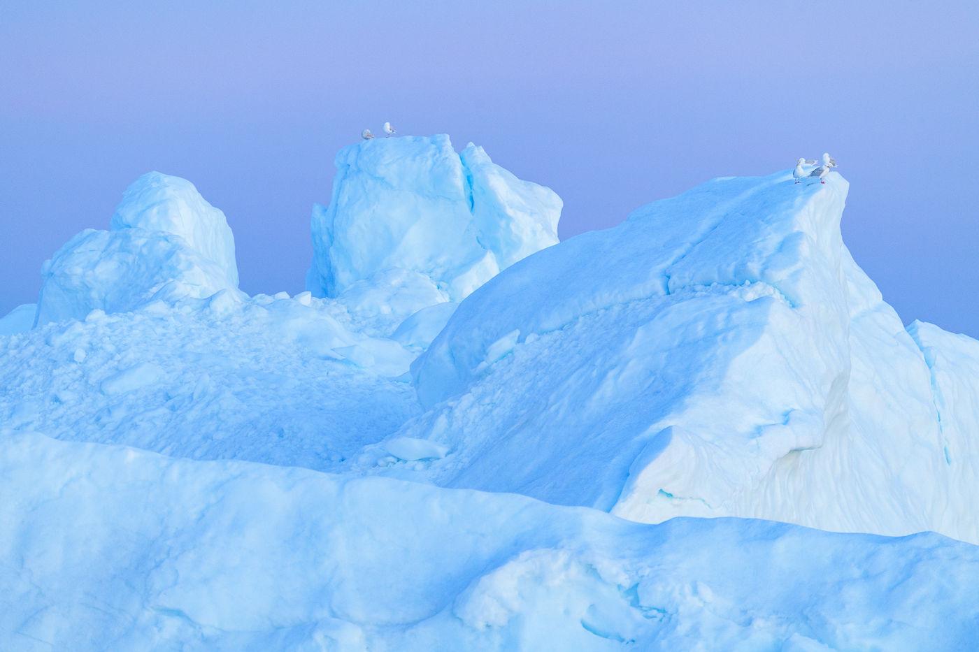 Grote burgemeesters laten steeds hun lachende roep horen vanop de toppen van de ijsbergen. © Bart Heirweg