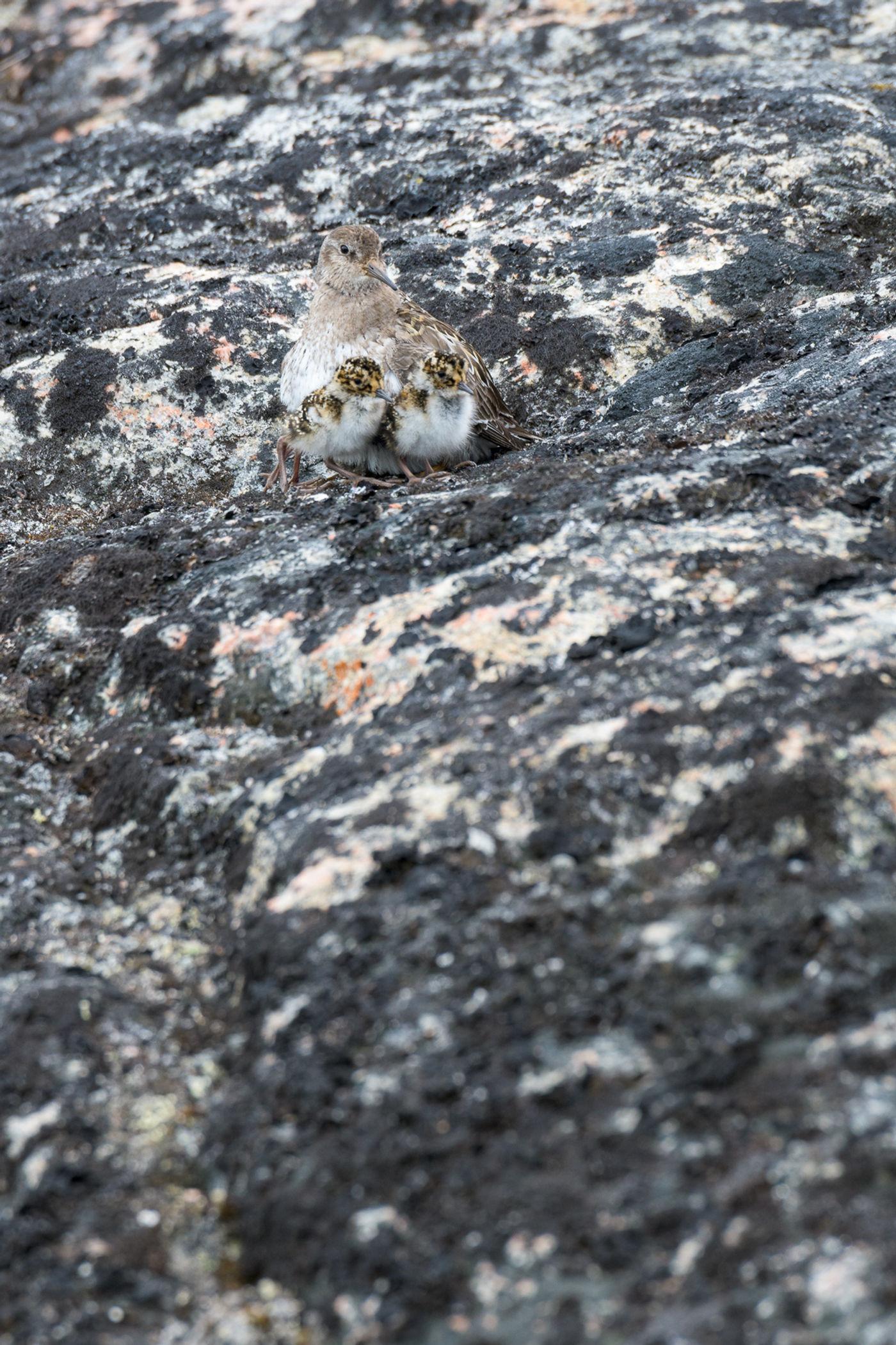 Een paarse strandloper probeert zich te verschuilen samen met de jongen, en maakt daarbij gebruik van zijn uitstekende camouflage. © Bart Heirweg