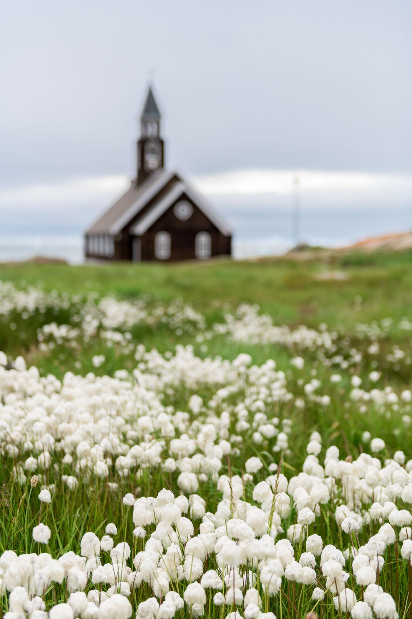 Een sfeerbeeld van de veenpluizen, met een typisch Groenlands kerkje op de achtergrond. © Bart Heirweg