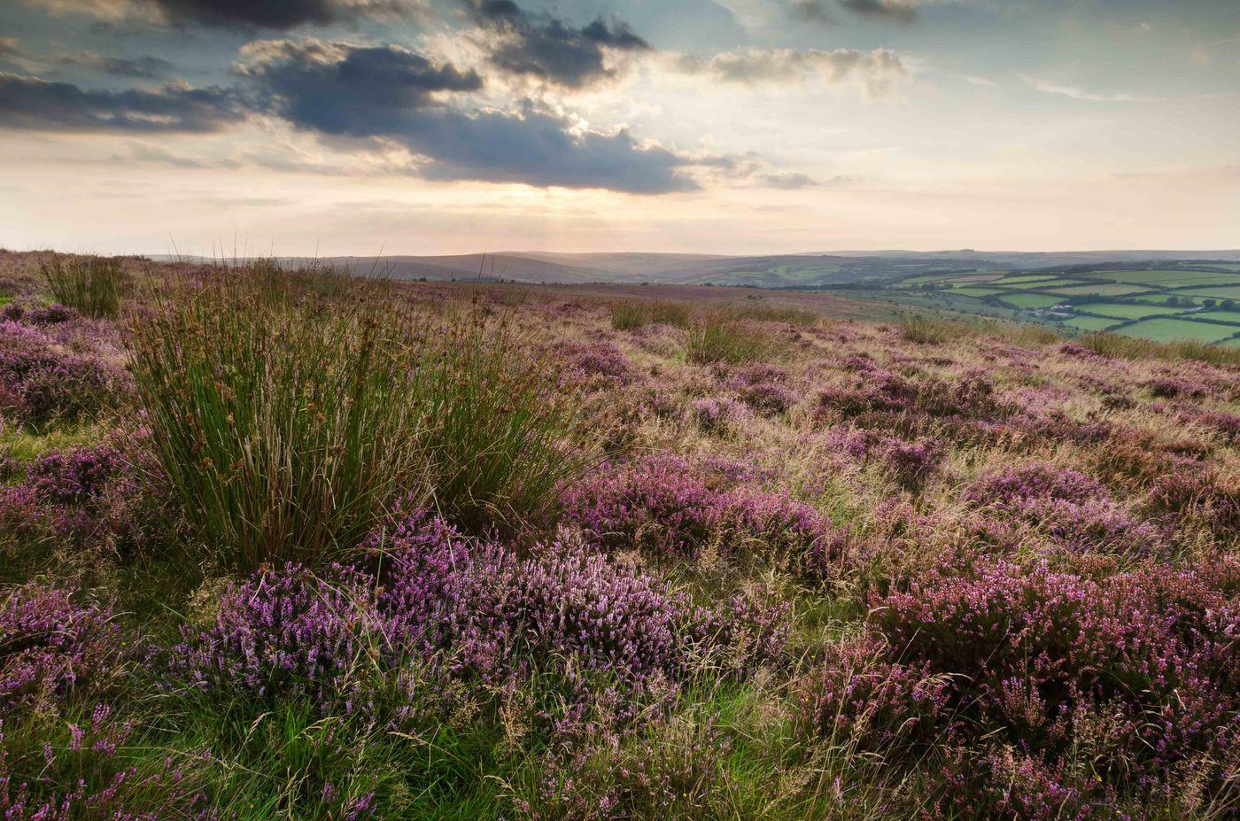 De bloeiende heide met op de achtergrond het kleinschalige landschap. © Hans Debruyne