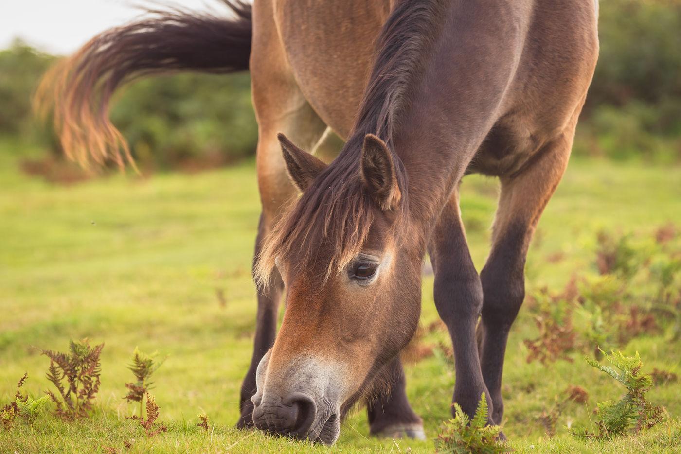Portret van een Exmoor-pony. © Sandy Spaenhoven