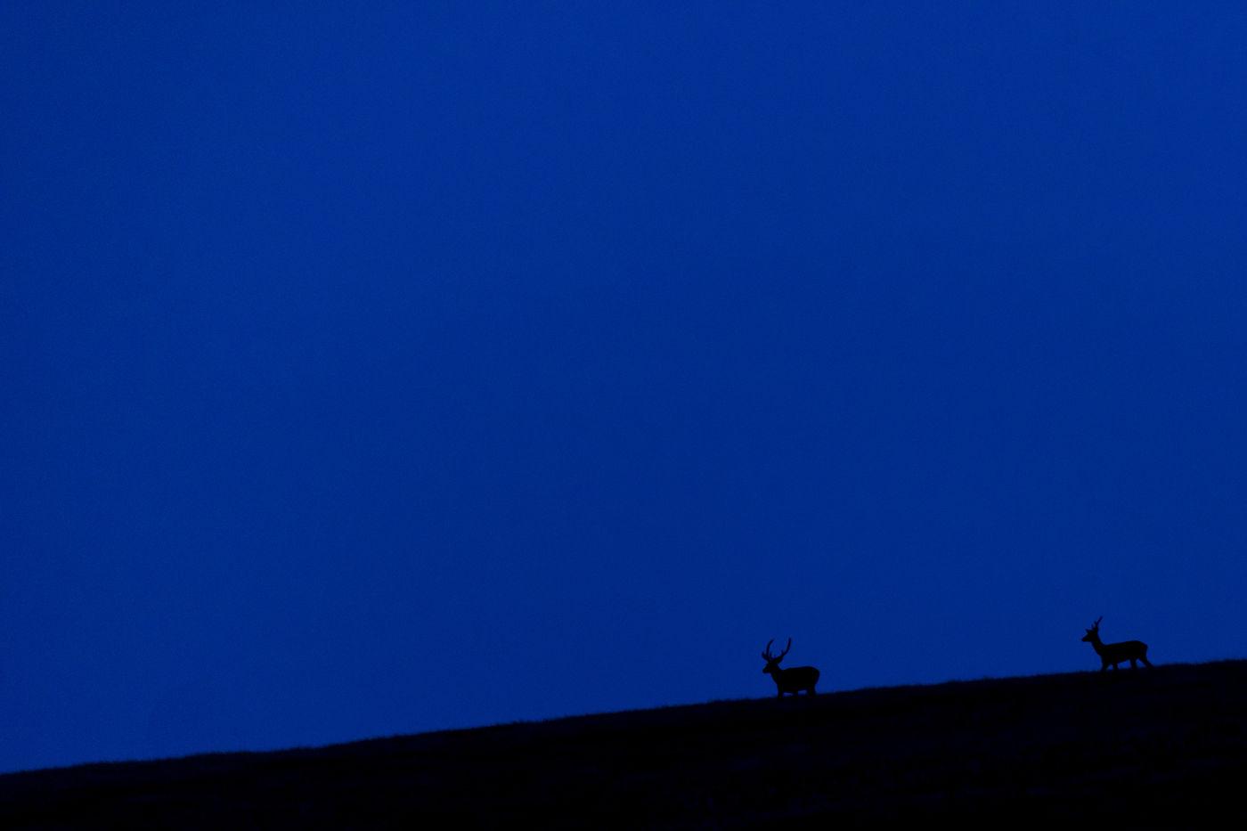 Edelherten tijdens de schemer. © Sandy Spaenhoven