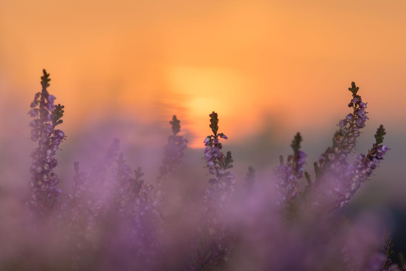 De heide staat in bloei tijdens een prachtige zonsondergang. © Sandy Spaenhoven