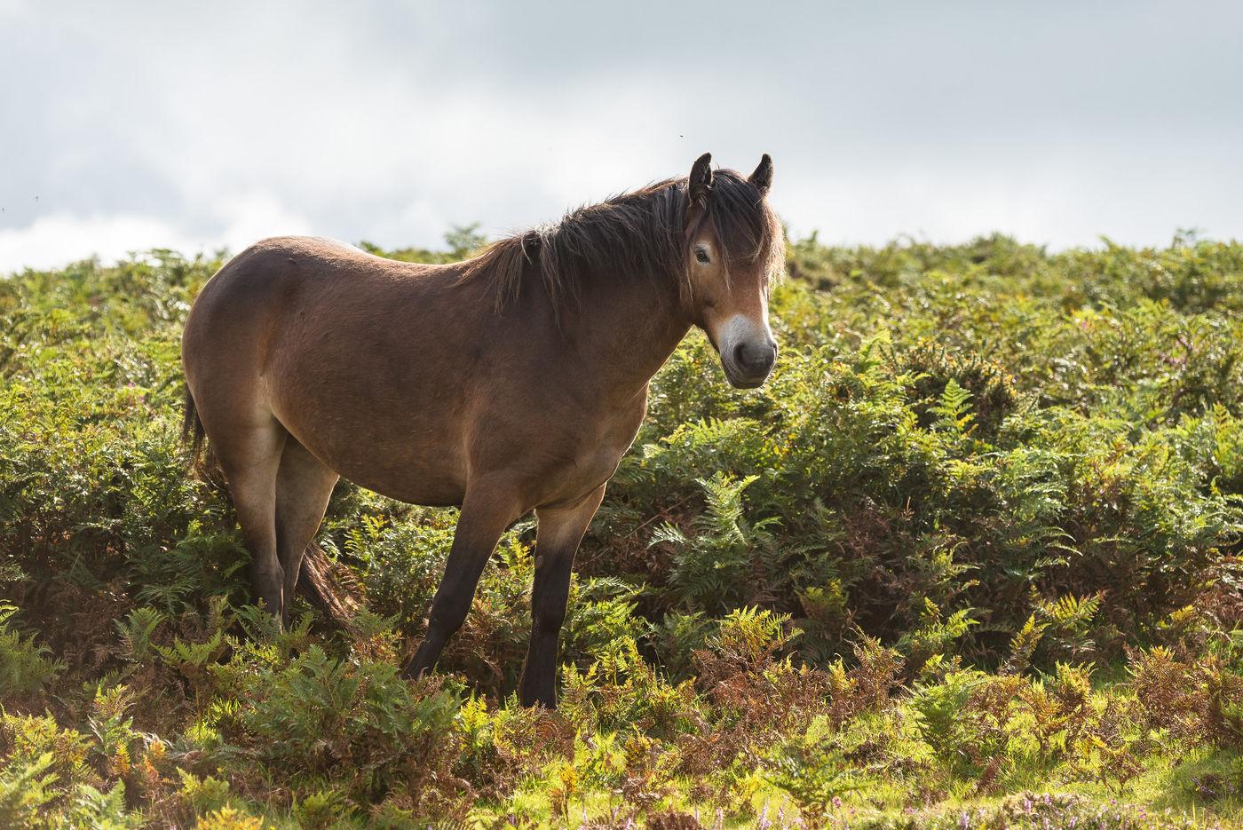 Exmoor-pony tussen de adelaarsvarens. © Sandy Spaenhoven