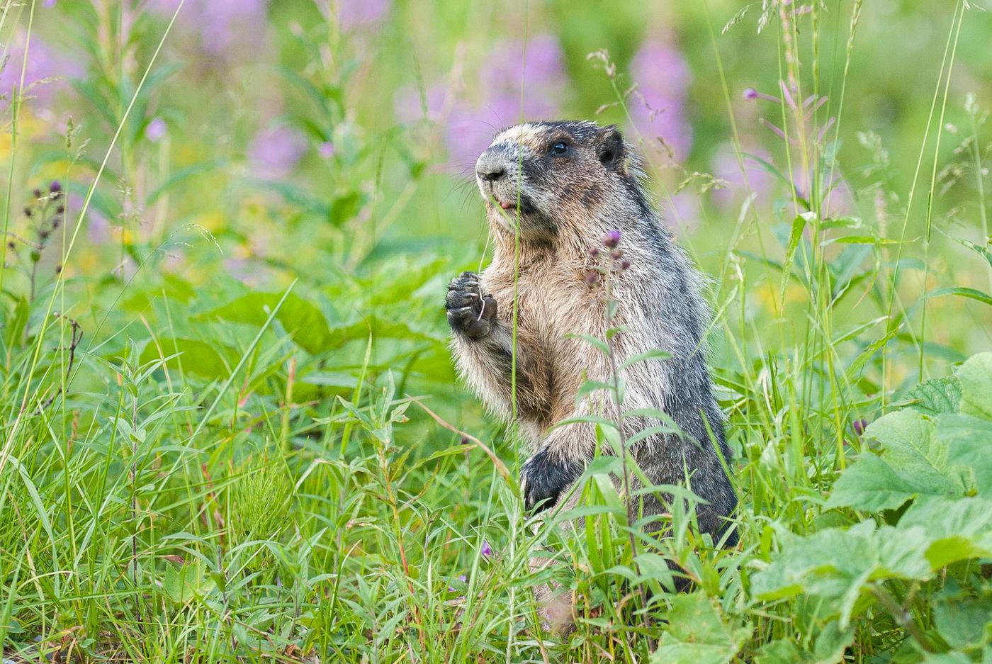 Grijze Marmot © Jeffrey Van Daele