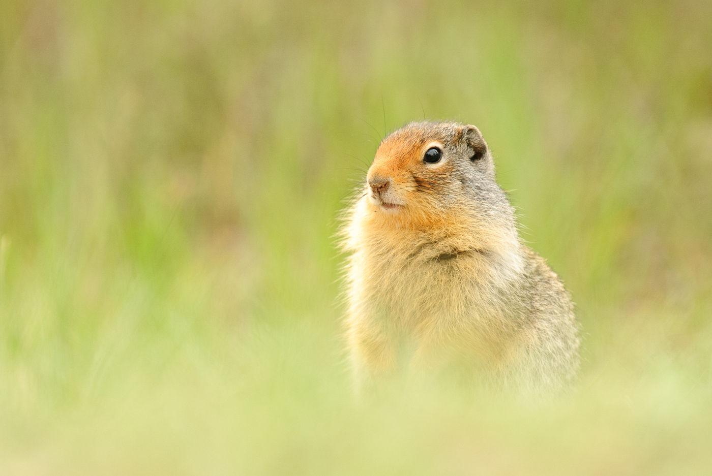 Columbian ground squirrel © Jeffrey Van Daele