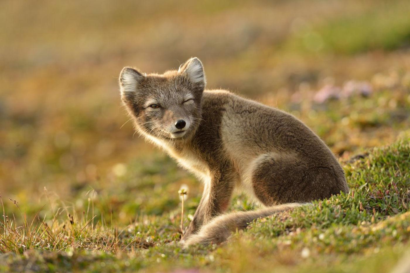Arctic fox. © Yves Adams