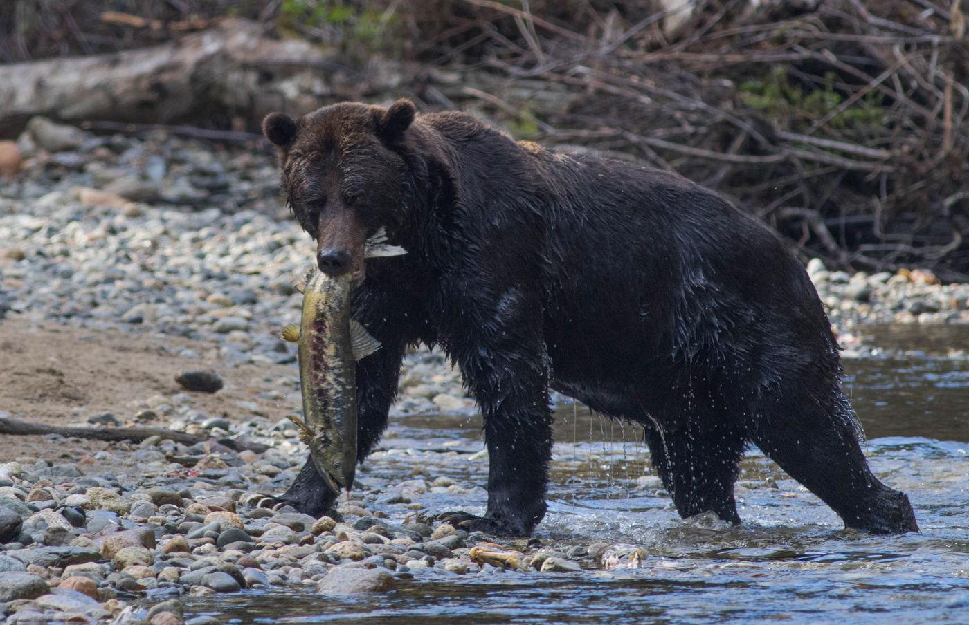 Dit volwassen grizzlymannetje vangt een forse chumzalm als lunch. © Joachim Bertrands