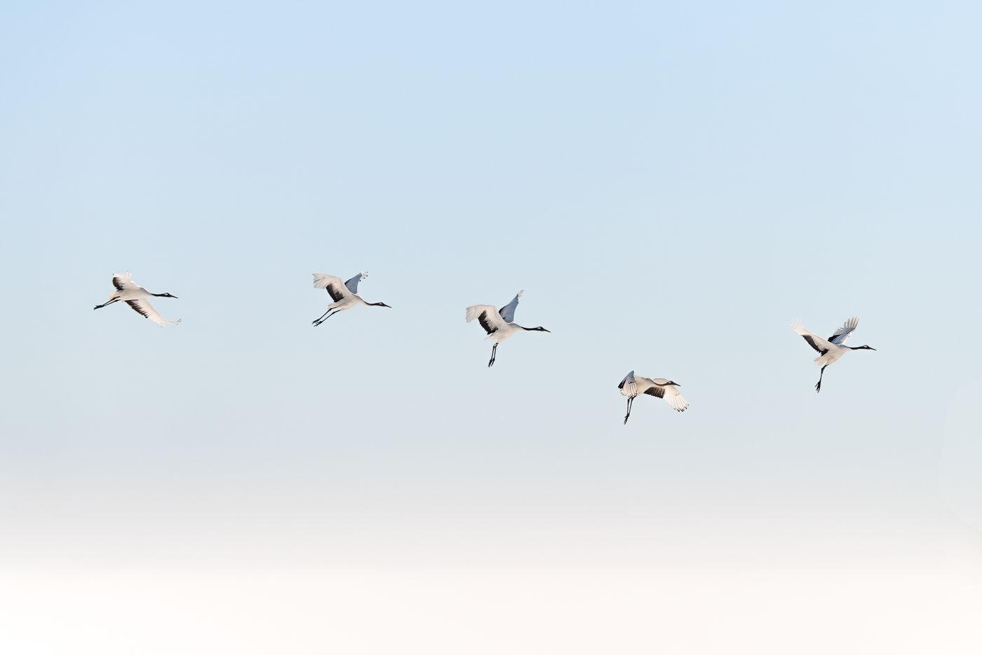 De vlucht van een red-crowned crane. © Jeffrey Van Daele