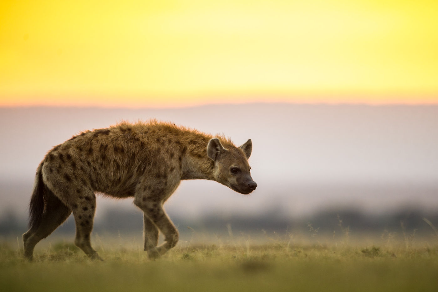 Hyena's trekken op jacht de nacht in. © Billy Herman