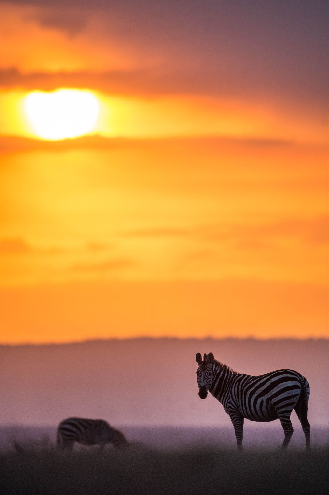 Zebra's grazen bij zonsondergang. © Billy Herman