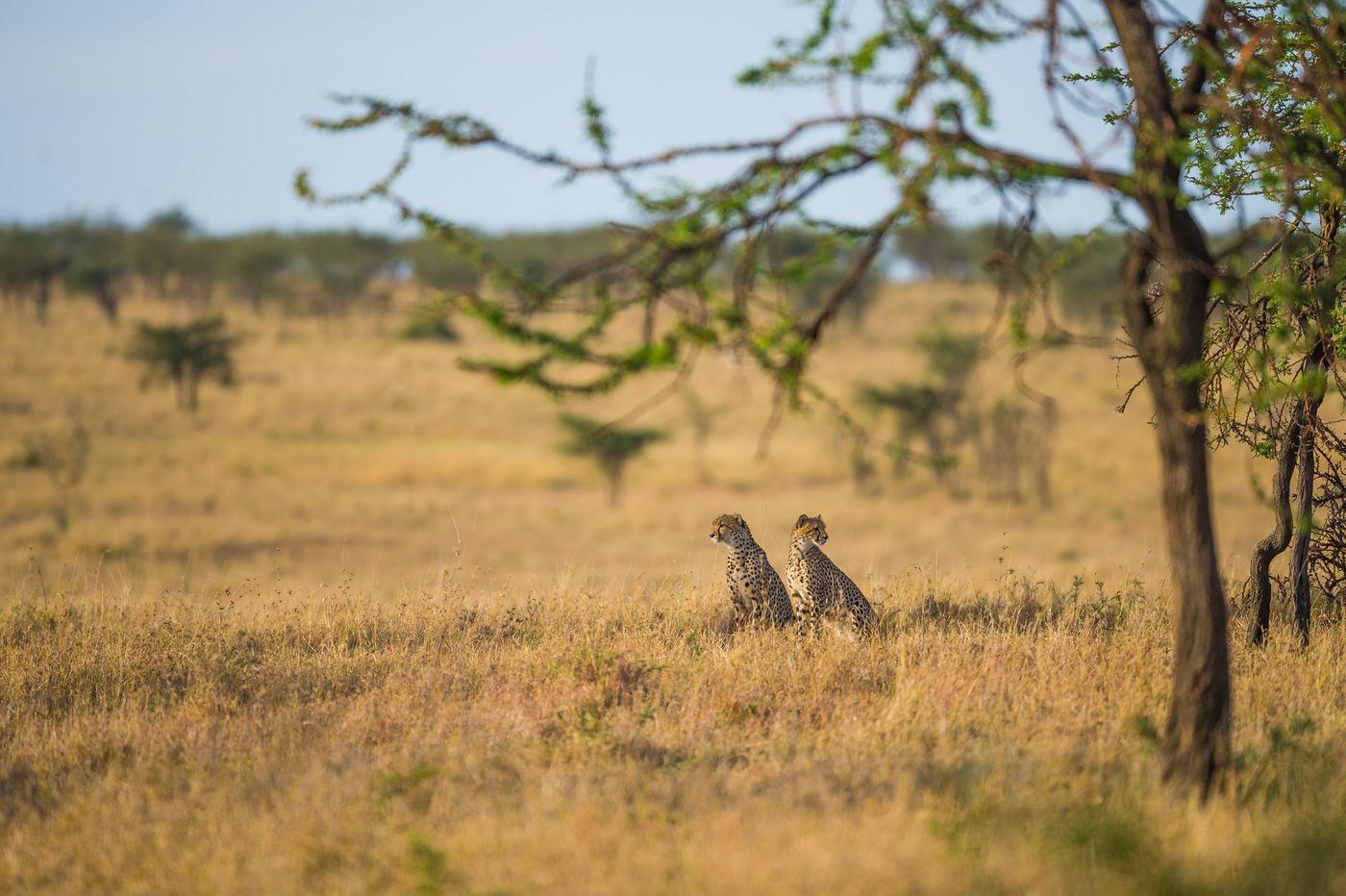 Cheetahs op de uitkijk. © Billy Herman