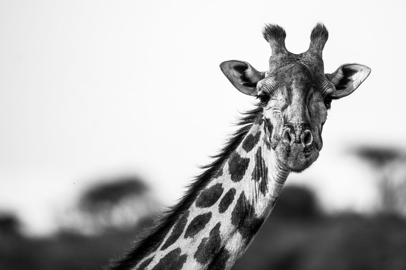 Een giraf kijkt statig in de lens. © Billy Herman