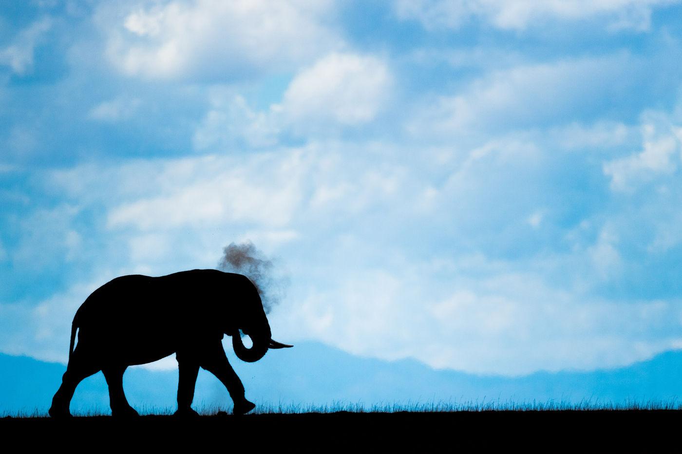 Een bull olifant geeft zichzelf een stofbad. © Billy Herman