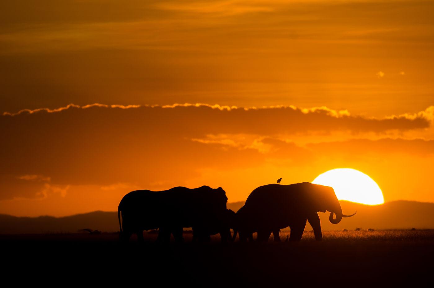 Olifanten bij zonsondergang. © Billy Herman
