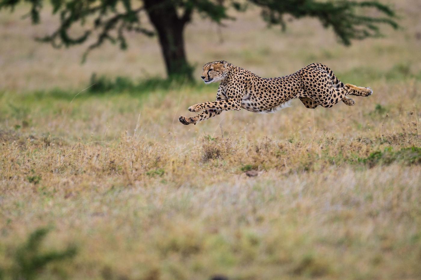 Het jachtluipaard is het snelste landzoogdier ter wereld. Ze kunnen snelheden behalen van 120 km/u! © Billy Herman