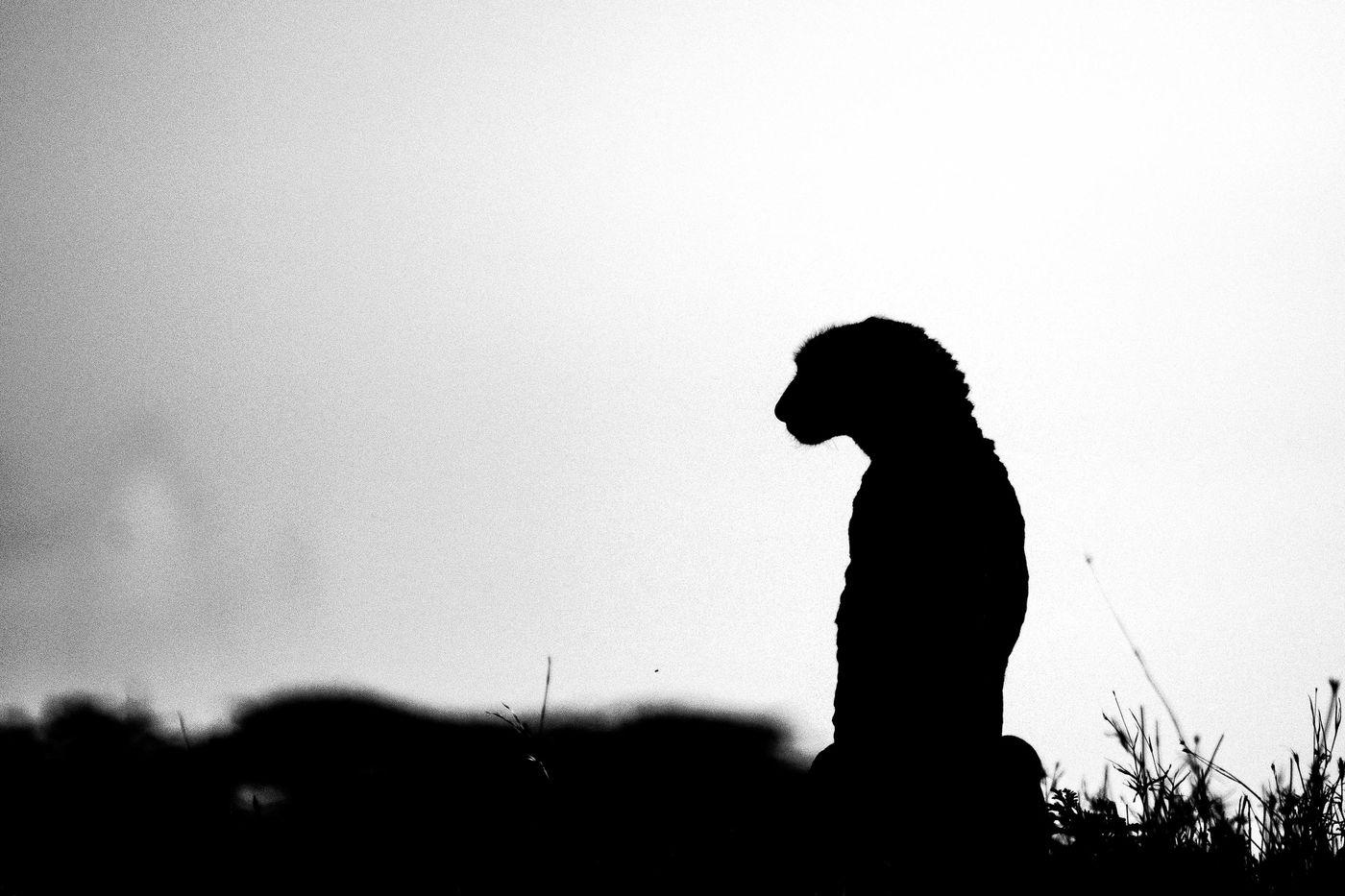 Een cheetah in zwart-wit. © Siska Meersman