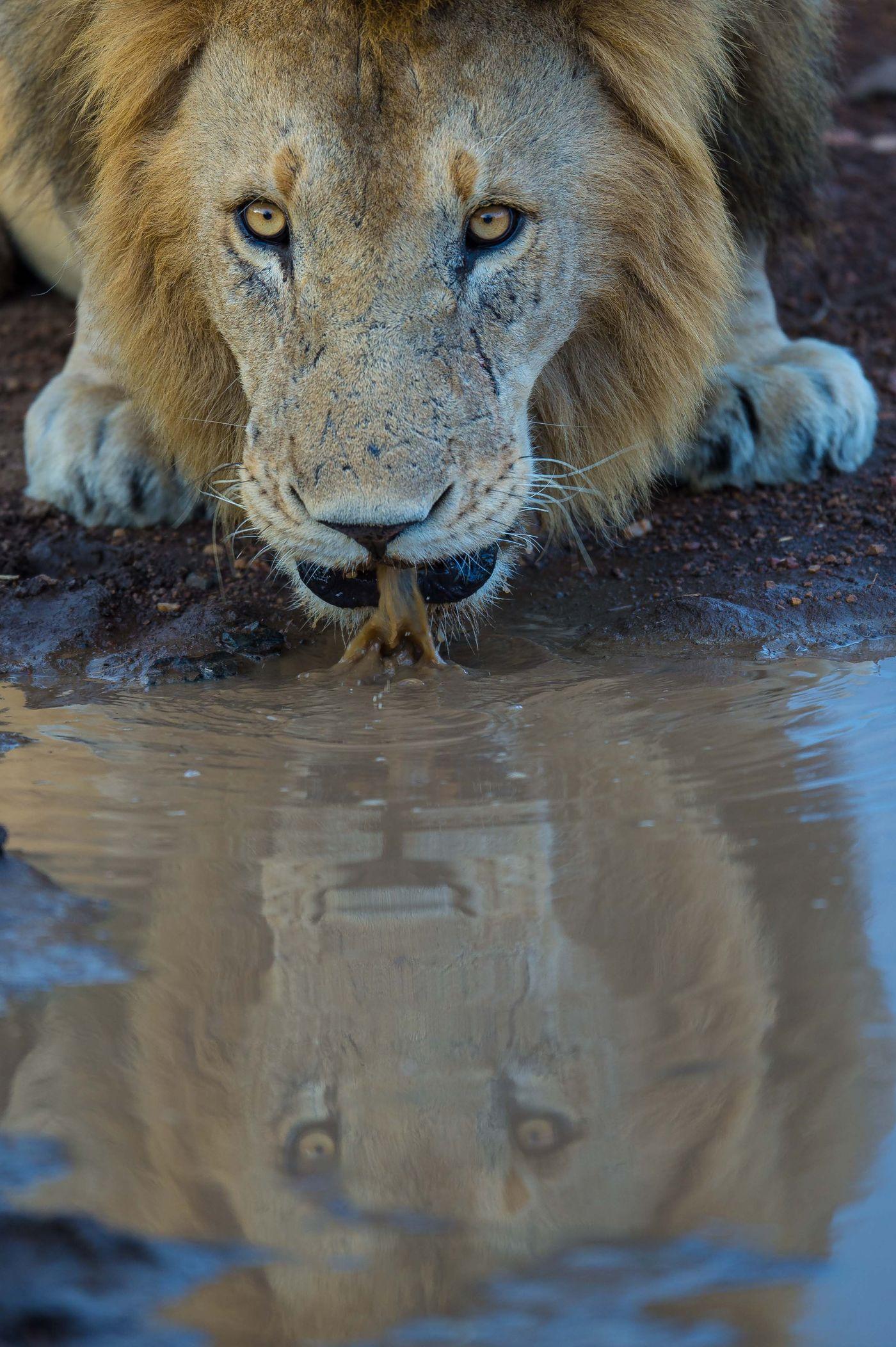 Een drinkende leeuw mooi gespiegeld. © Billy Herman