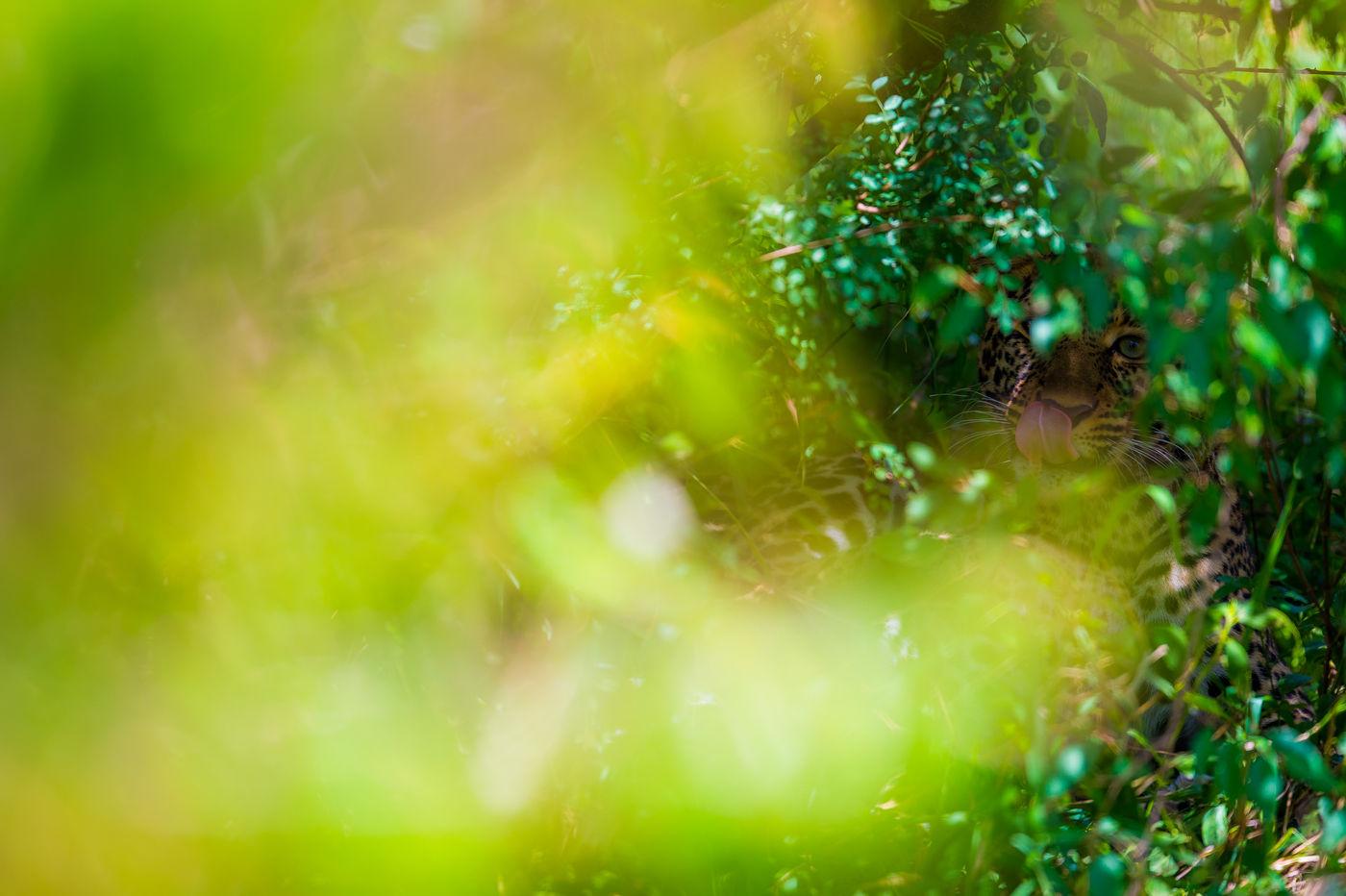 Een luipaard ligt te rusten in de bosjes. Mits geduld en de juiste techniek kun je zelfs bij vol zonlicht speciale foto's maken. © Billy Herman
