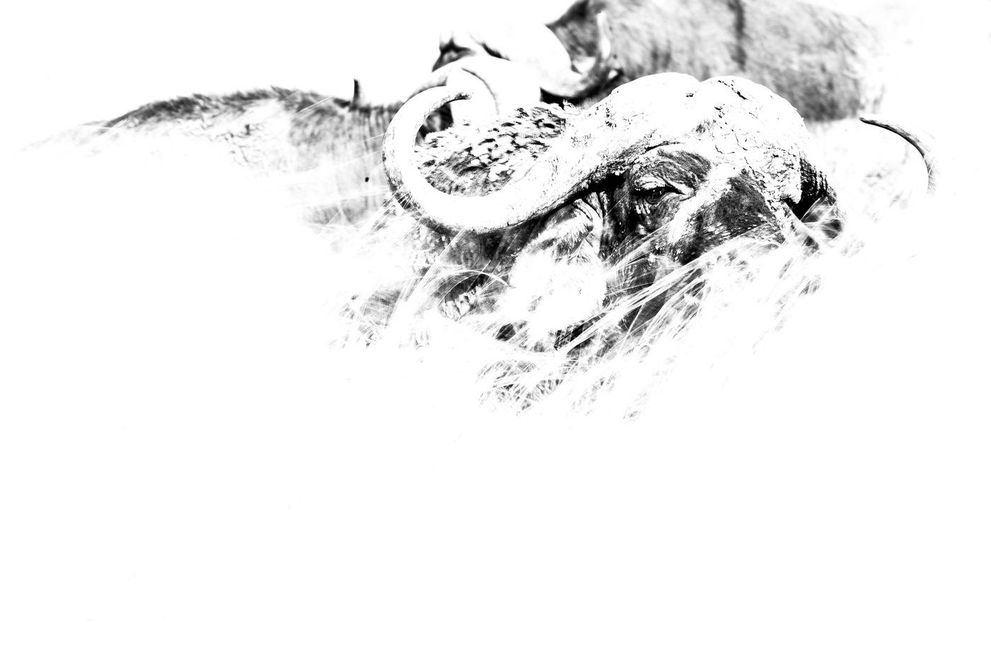 Abstract zwart-witbeeld van een buffel. © Billy Herman