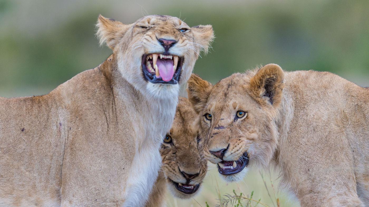 Jonge leeuwen trekken rare bekken naar de fotograaf. © Billy Herman