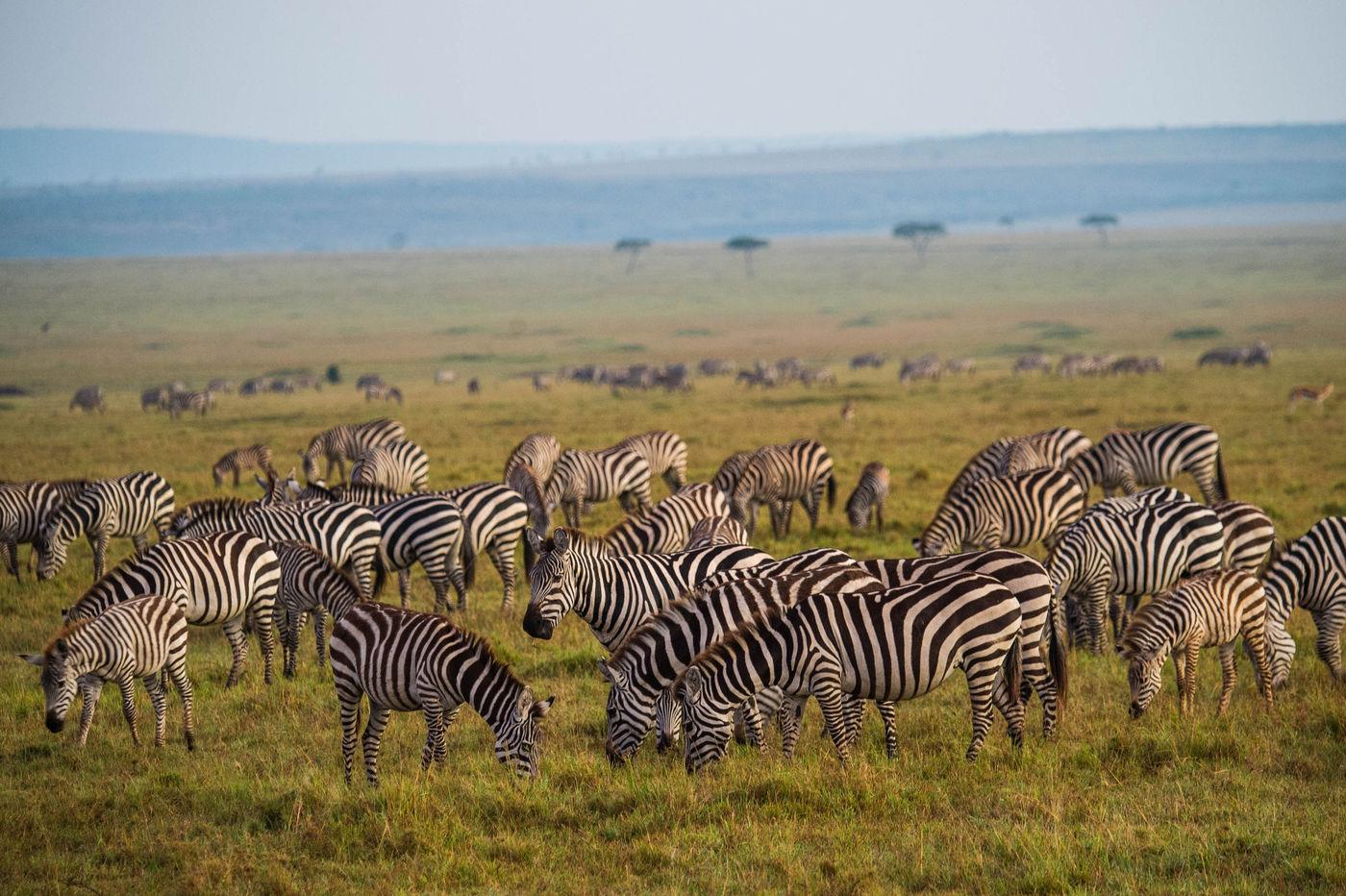 Overal zie je troepen zebra's en gnoes grazen. Zo ver je kan kijken. © Billy Herman