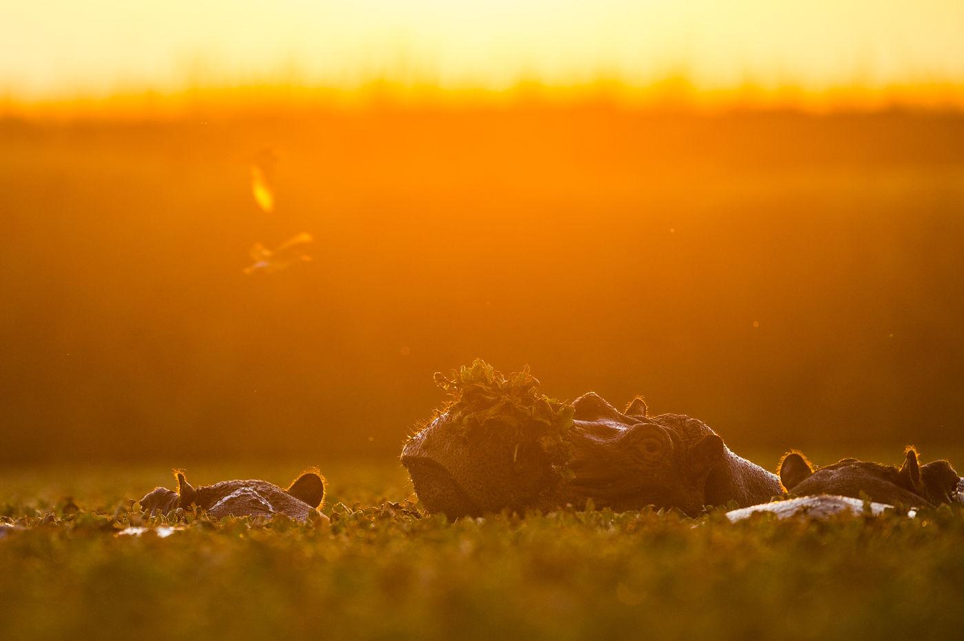 Nijlpaarden bij zonsopkomst fotograferen is geen sinecure. © Billy Herman