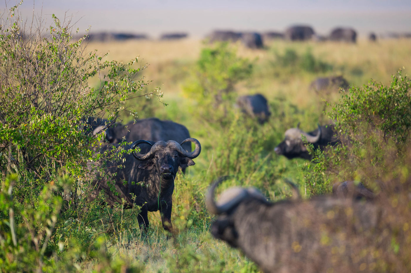 Buffels zijn heuse mastodonten. Soms vind je groepen van enkele honderden exemplaren. © Billy Herman