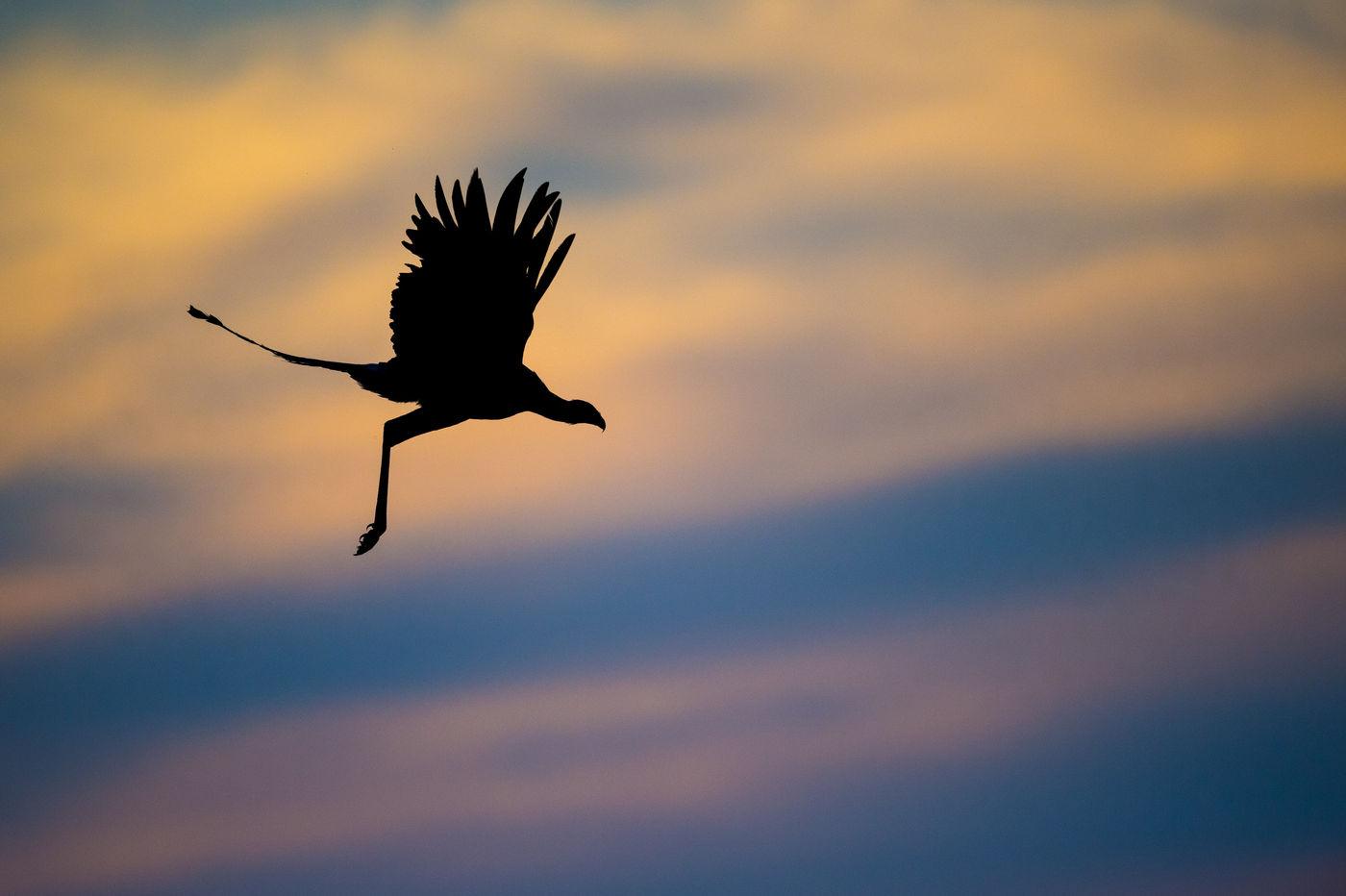 Een secretarisvogel vliegt voorbij bij het laatste licht. © Billy Herman