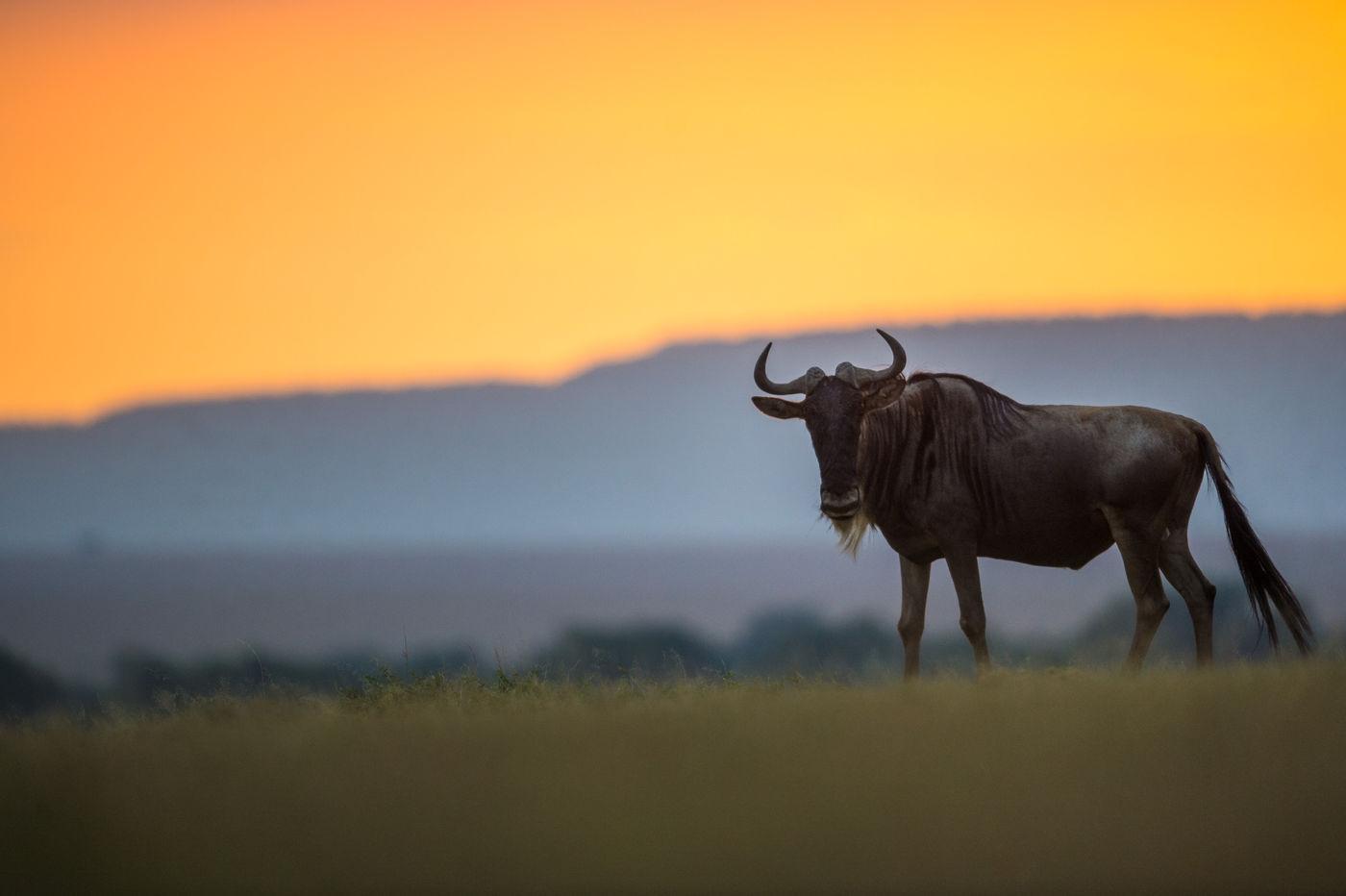 Gnoe bij zonsondergang. © Billy Herman