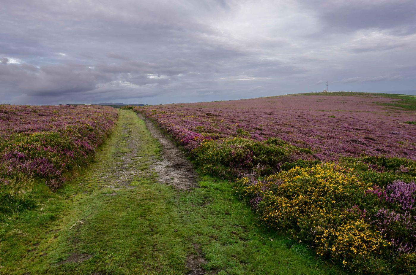 De paarse hei met gele brem op de voorgrond. © Hans Debruyne