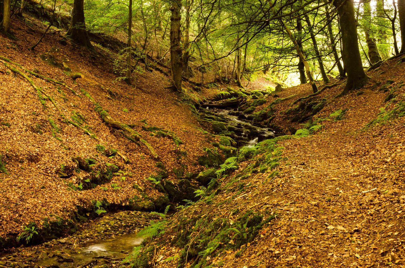 Het beukenbos in Exmoor, met een klein bosstroompje. © Hans Debruyne