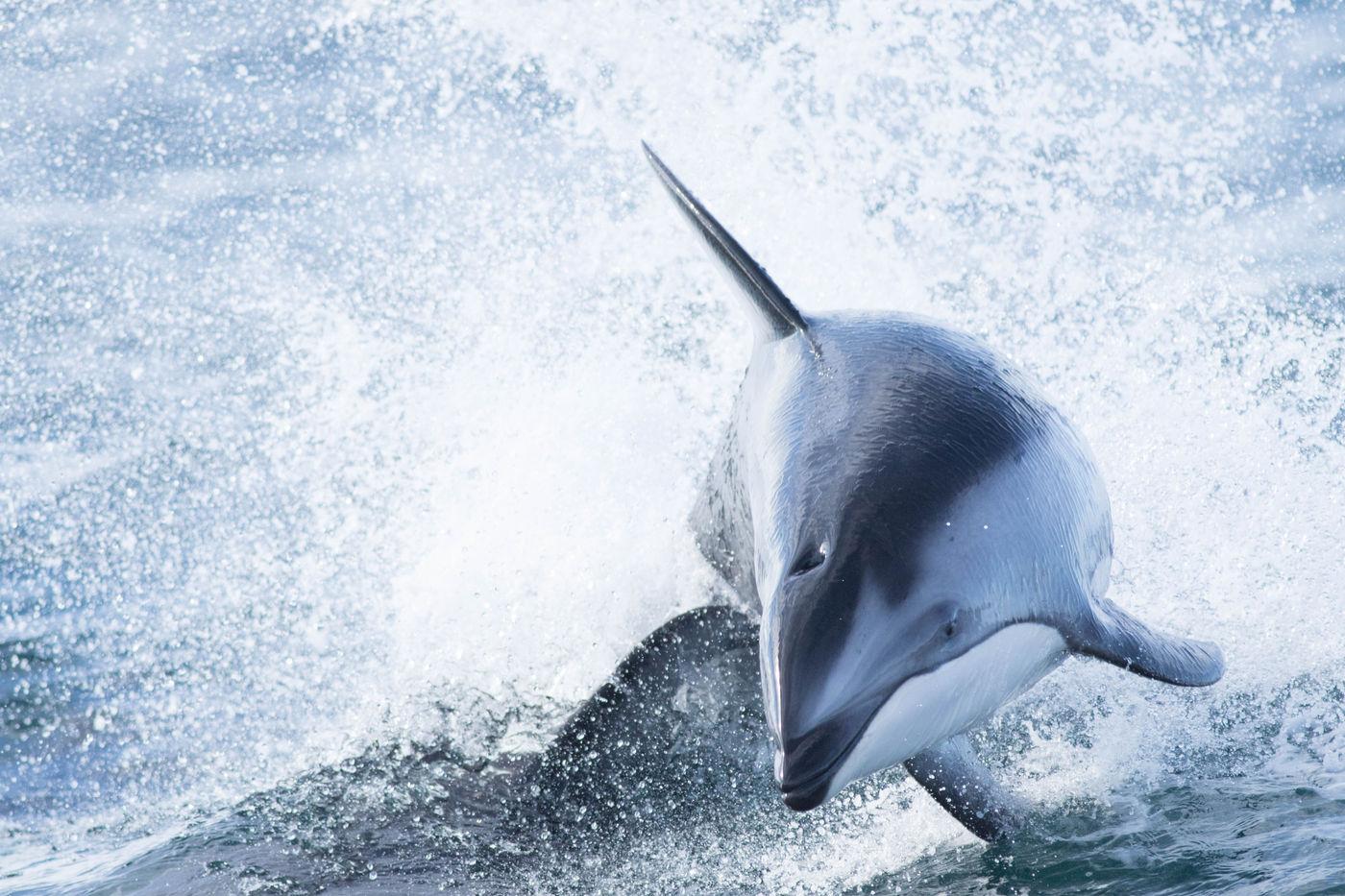Ze zijn bijzonder snel, deze Pacific white-sided dolphins. © Joachim Bertrands