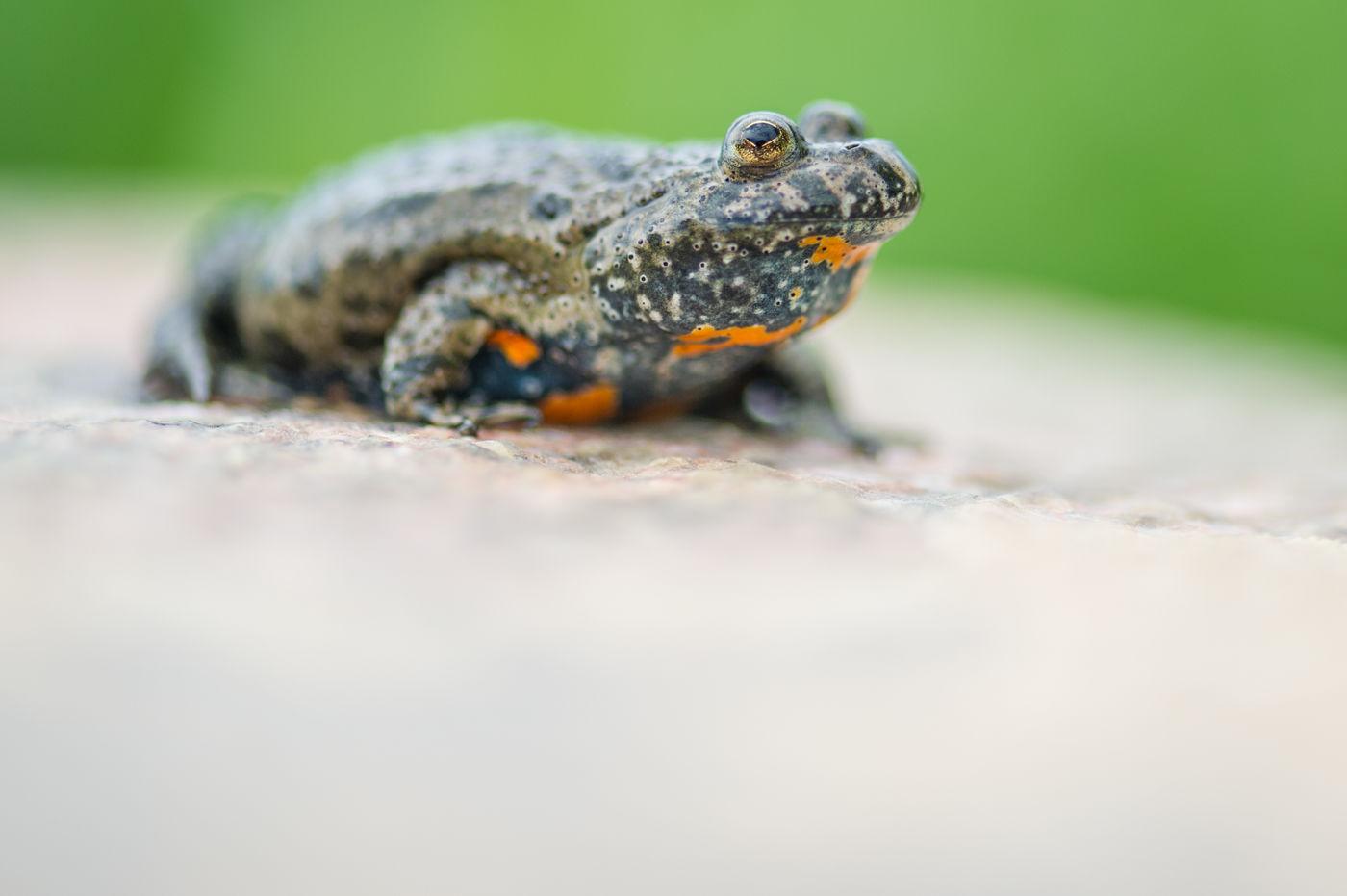 Een roodbuikvuurpad, een aantrekkelijk kikkertje (!) dat je vaak in karrensporen vindt. © Billy Herman
