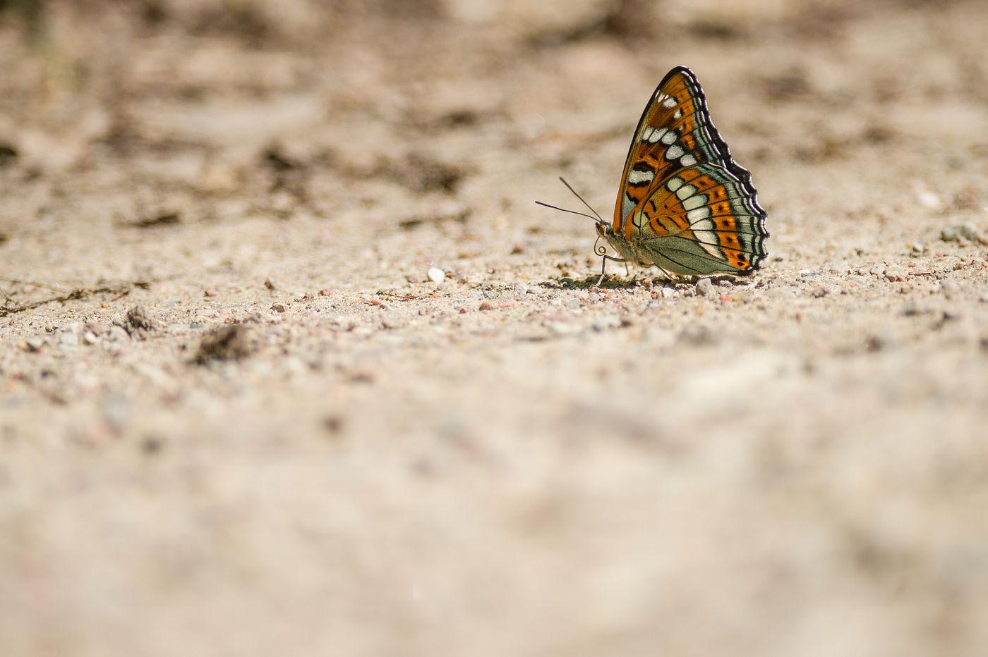 De grote ijsvogelvlinder is een prachtige soort die slechts 8 tot 12 dagen op het jaar vliegt. Je moet er dus snel bij zijn. © Billy Herman