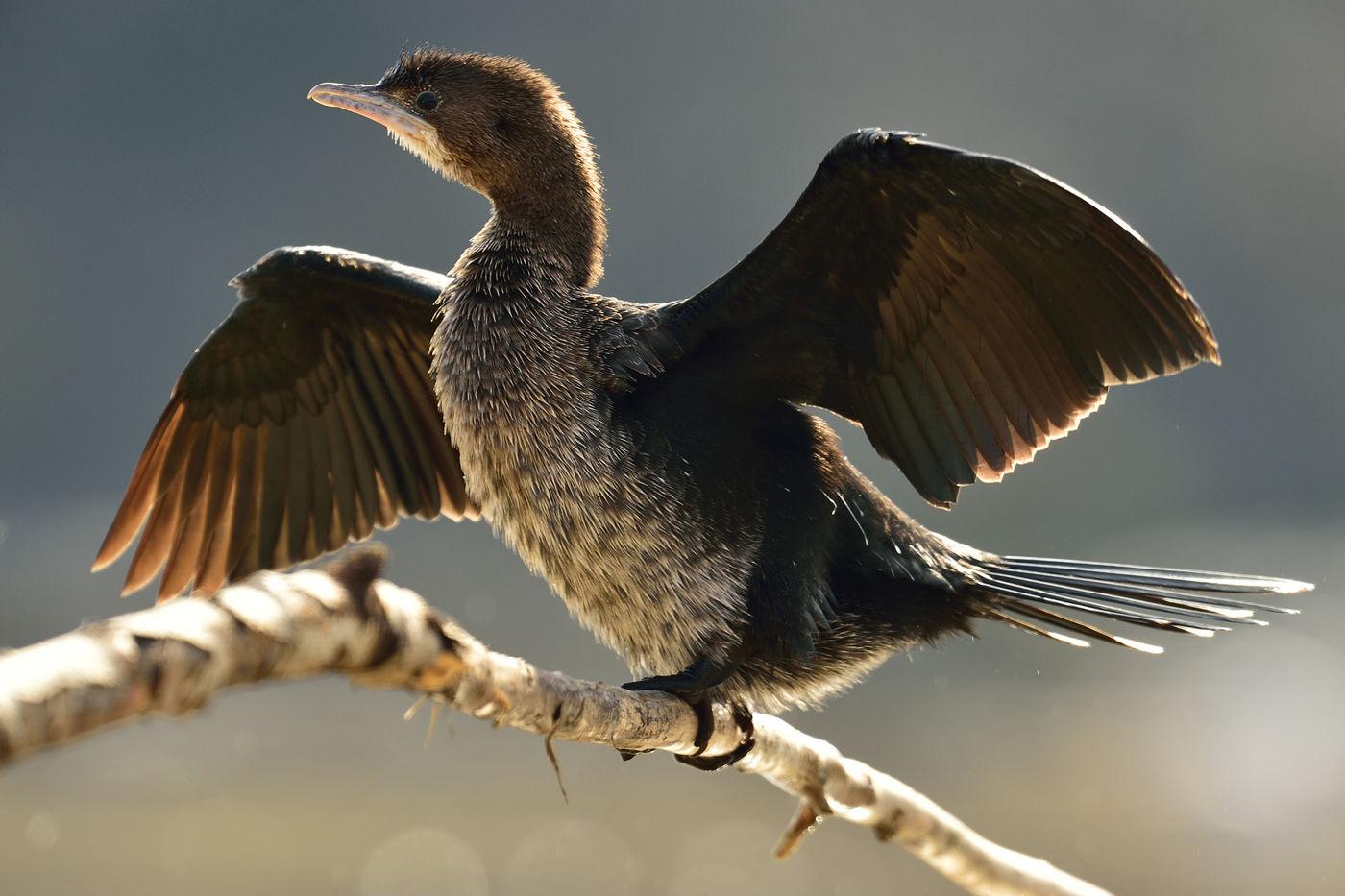 Een dwergaalscholver droogt de vleugels! © Yves Adams