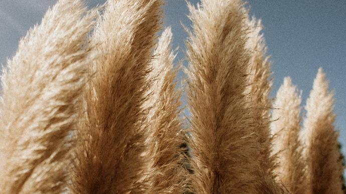 لماذا يكون نبات الخنشار اكبر من حجم نبات الفلوناريا
