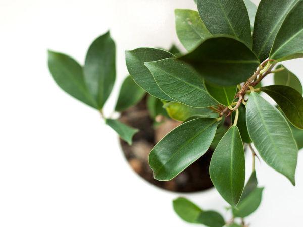 Ficus Microcarpa flatlay
